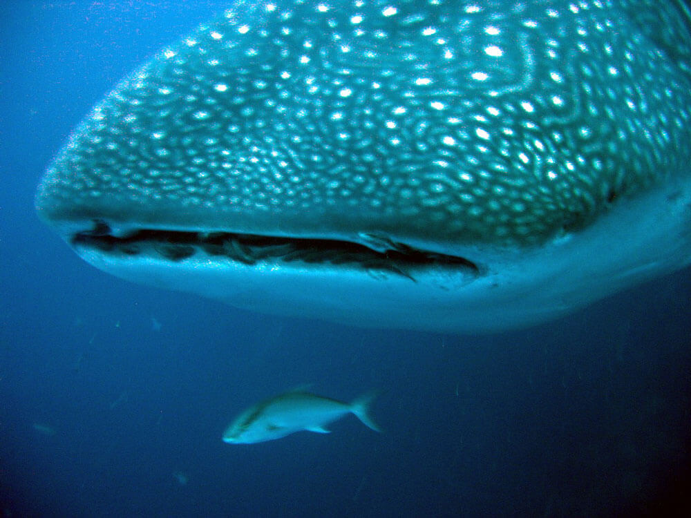 Whalesharks in Galapagos - Walhaie