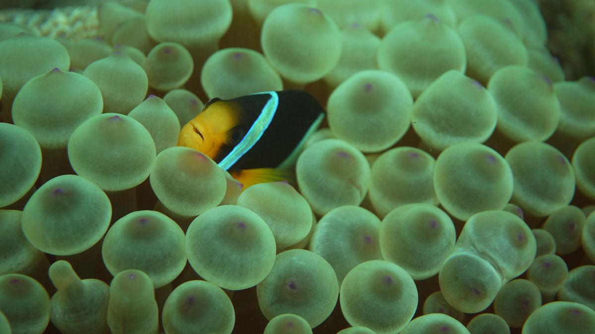 clownfish in musandam, oman