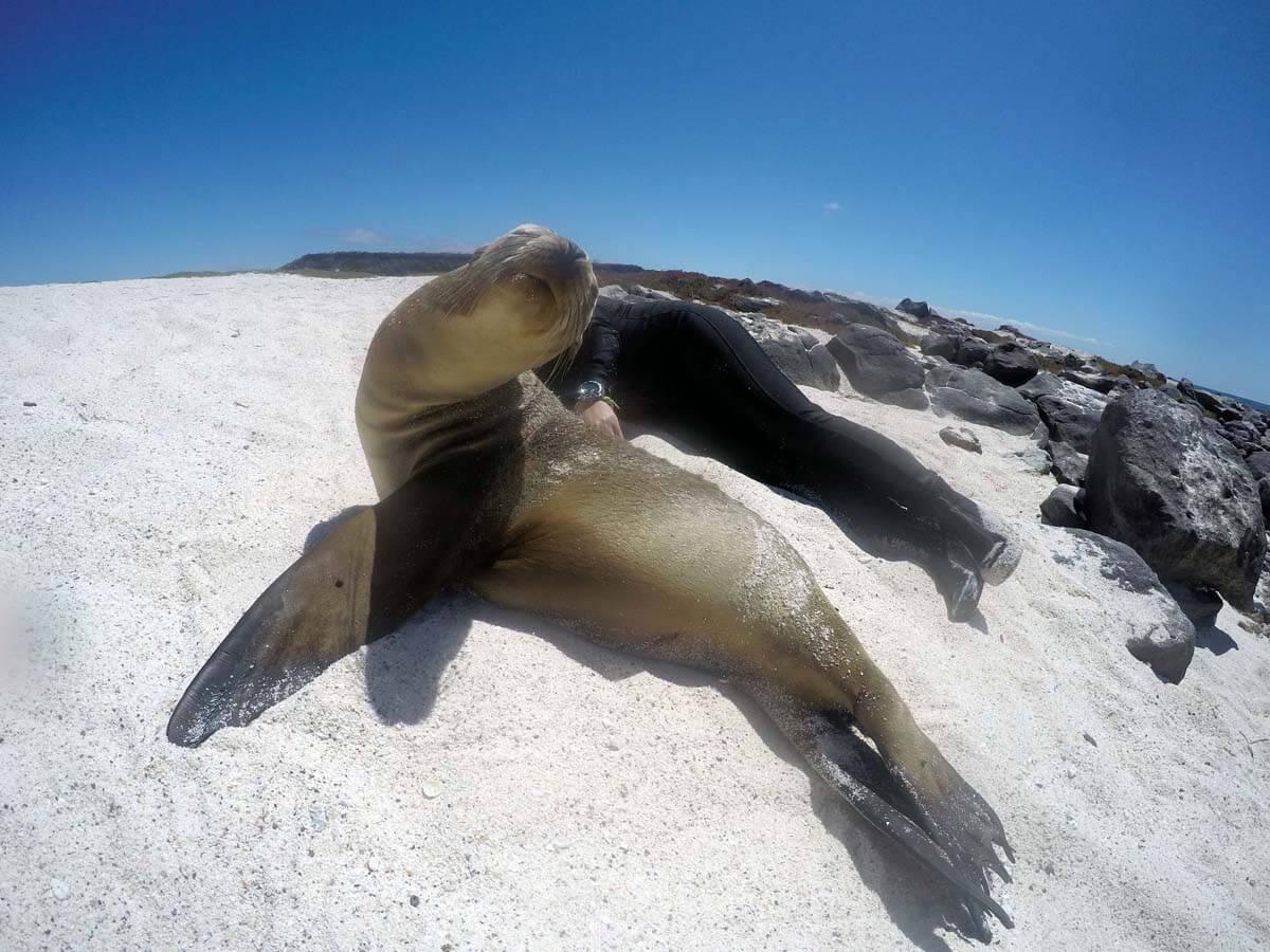 Yogaposen mit Seelöwen auf Mosquera (Galapagos)